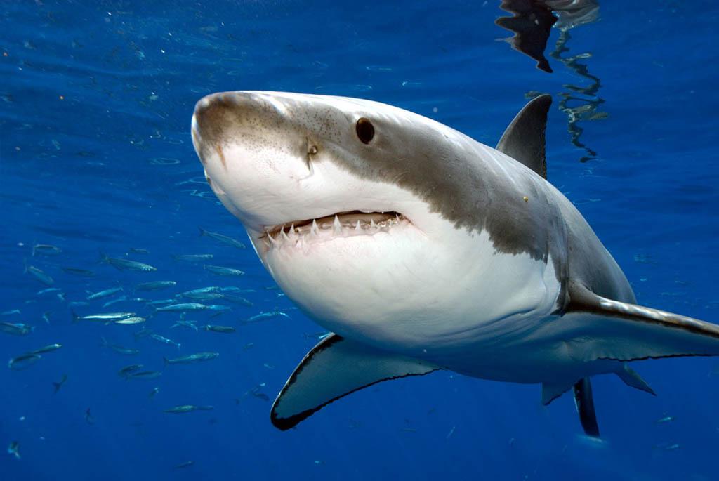 Биологи: Дольше всех живет гренландская полярная акула— до300 лет