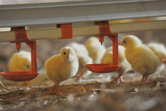 Госпродпотребслужба запретила ввоз птицы изГермании из-за птичьего гриппа