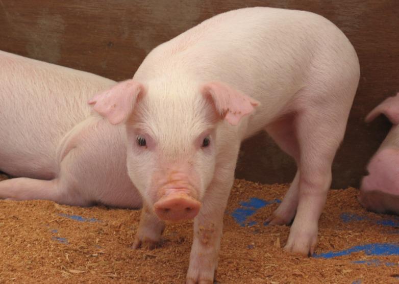 Ученые вывели породу свиней без сала