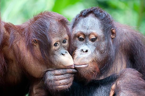 Ученые отыскали наСуматре новый вид человекообразных обезьян