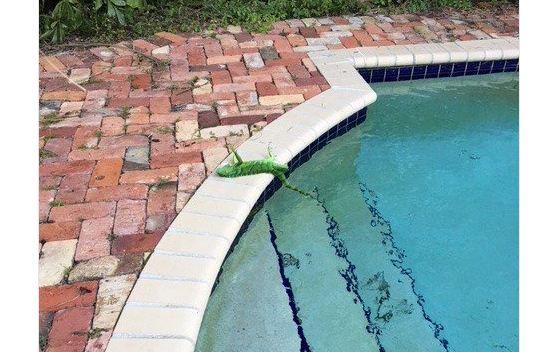 Невысокая температура воФлориде привела к«игуанопаду» сдеревьев