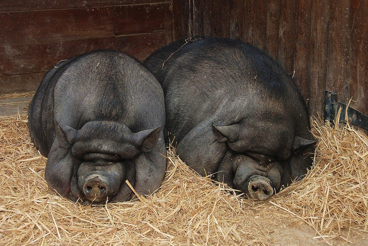 ВНиколаевской области свиньи съели мужчину