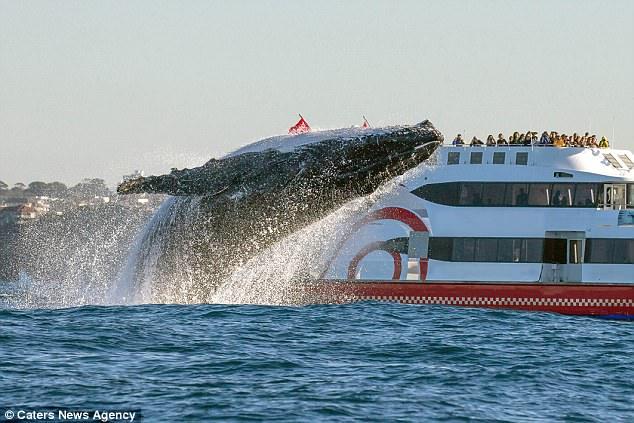 Фотографу удалось снять вертикальный прыжок 20-тонного кита